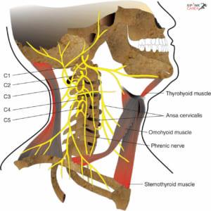 Viêm gân cơ dài cổ