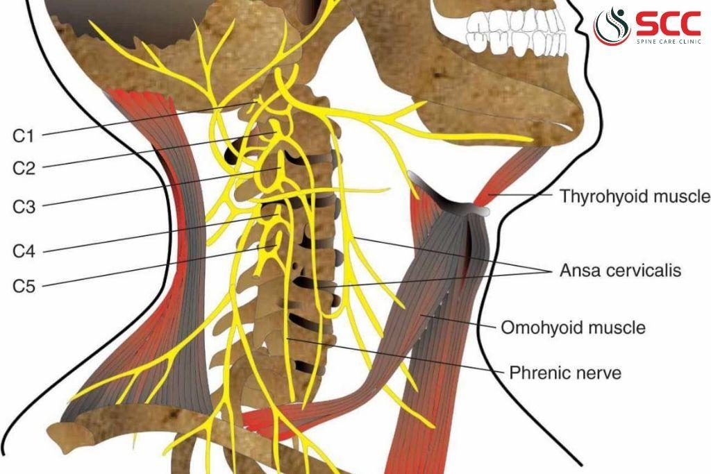 giải phẫu rễ thần kinh cổ bị chèn ép